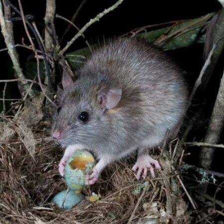 rat-eating-eggs-500sq.jpg